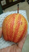 四川乐山挂果苹果树苗种植基地图片