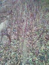 湖南湘潭红富士苹果树苗哪里有图片