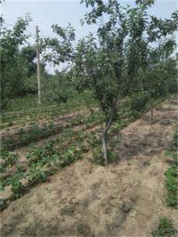 湖南醴陵有苹果苗(成品苗)