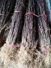 渭南草莓种苗价格图片