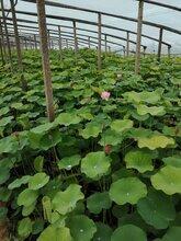 青州水生植物基地荷花基地