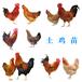 東莞土雞苗孵化公司-今日山東雞苗雞價格