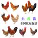滁州土雞苗孵化基地-澳洲黑雞苗價格