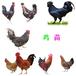 滁州小雞苗市場價格