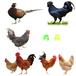 舟山雞苗價格行情-雞苗養殖條件