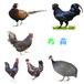 柳州土雞苗孵化基地-半斤左右黑腳雞苗