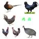 黔東南鵝苗價格行情-秦香土雞苗孵化技術