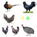 福州土鸡苗价格走势-贵州长顺天农绿壳鸡苗