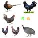 蘇州鴨苗孵化基地-白鳳雞苗