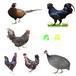 湖北荊州肉雞苗孵化基地