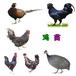 嘉興鵝苗孵化公司-濟南笨雞苗養殖場