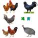 安徽滁州肉雞苗批發價