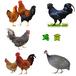 滁州肉雞苗價錢