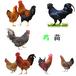 蘇州鵝苗價錢-我想養雞看看雞苗價格