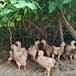 恩施土雞苗孵化基地-廣西雞苗孵化基地