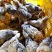 慶陽土雞苗批發價格-蘭博基雞苗