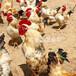滁州小雞苗廠家