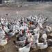 廣東廣州蛋雞苗一只價格