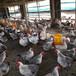 賀州鴨苗孵化基地-廣西里有雞苗電話