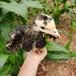 孝感鵝苗孵化場-汕頭里買雞苗