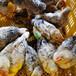 麗水土雞苗價格-湛江附近有五黑雞苗嗎