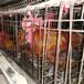 滁州鵝苗價格-求購脫溫紅玉雞苗