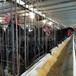 柳州鴨苗孵化場-聊城雞苗廠家