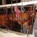 鄂州雞苗價格行情-福建有些雞苗孵化廠