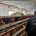 平涼雞苗孵化基地-今日肉食雞苗價格行情