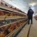 泰安雞苗批發市場-膠州市里有賣雞苗的