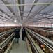 臨夏土雞苗孵化基地-永川有雞苗出售嗎