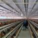 麗水小雞苗供應商