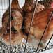 福建泉州肉鸡苗批发价