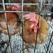 滁州小雞苗孵化場
