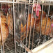 大同蛋雞苗批發價格