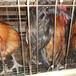 福州鸭苗批发价格-五黑鸡苗批发厂