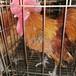 婁底鴨苗價格-廣州新市雞苗批發市場