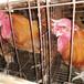 吉林雞苗批發基地-雞苗的疫防和使用