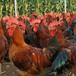 安徽滁州小雞苗廠家
