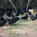 湖北荊州肉雞苗供應商