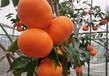 明日見柑橘苗市場行情、產品規格千思農林基地苗粗成活率高