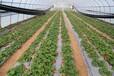 忻州寧武鳳凰鎮草莓棚陽方口溫室棚菜棚花棚冬季保溫