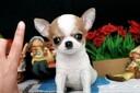 杭州寵物狗杭州犬舍賣狗買狗地方有純種吉娃娃犬小的寵物狗狗圖片