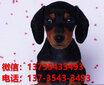 杭州寵物狗杭州犬舍賣狗買狗地方有純種臘腸犬臘腸狗領養圖片