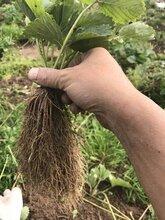 广安印度卡草莓苗批发图片