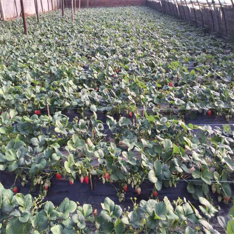 草莓苗批发价格、草莓苗价格报价