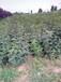 規格齊全花椒苗1公分花椒苗種植定干技術