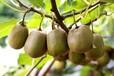 海南省直轄軟棗獼猴桃樹苗獼猴桃苗求購快來