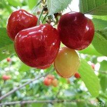 上海卢湾桑提娜樱桃苗樱桃苗价格低图片