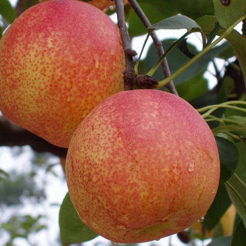 秋月梨树苗种植装车价格